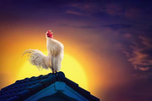 ¿Por qué cantan los gallos al amanecer?
